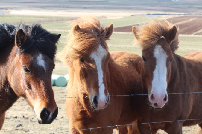 The gorgeous horses of Iceland